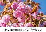 blossom sakura tree branch... | Shutterstock . vector #429794182
