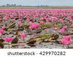 red lotus  thailand  lotus  red ... | Shutterstock . vector #429970282