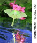 Small photo of A beautiful Luna Moth (Actias luna) at pink orchids with its reflection in a quiet stream.