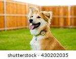 Stock photo happy dog sitting in backyard 430202035