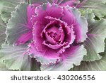 Beautiful Ornamental Kale Or...
