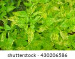 Small photo of a selective focus picture of pepper disease on leaves at agriculture garden