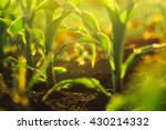Corn Crops Growing In Field ...