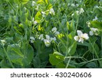 Pea Plant Blooming