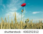 Field Of Wheat And Red Poppies...