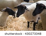 suffolk sheep with mother sheep ... | Shutterstock . vector #430273348
