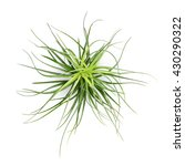 Small photo of air plant with scientific name Tillandsia, isolated on white background. This has clipping path.