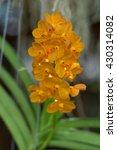 Small photo of blossom vanda orchid