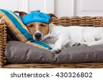 sick ill  jack russell  dog  in ... | Shutterstock . vector #430326802