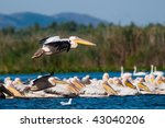 pelicans in danube delta | Shutterstock . vector #43040206