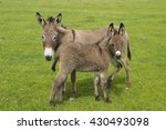 Gray Mother And Baby Donkeys On ...