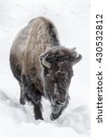 Small photo of American Bison - Bison bison