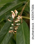 Small photo of Shell Ginger's special white flowers blooming (Alpinia zerumbet)
