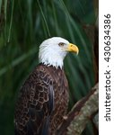 Small photo of American Eagle in a tree