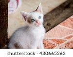 white kitten with blue eyes | Shutterstock . vector #430665262