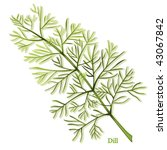 dill herb. thin leaves to cook... | Shutterstock .eps vector #43067842