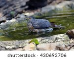 Small photo of Besra (Accipiter virgatus), a bird of prey, is bathing in the water pool.