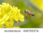 Honey Bee Pollinating On Yello...