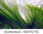 Seaweed Floating In Water