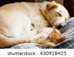 Stock photo kitten and dog sleeping 430928425