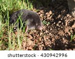 mole in the garden. mole  ... | Shutterstock . vector #430942996
