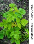 Young Green Raspberry Bush Wit...