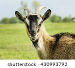 Brown Gray White Goat With...