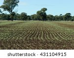 Rows Of Young Canola Plant In A ...