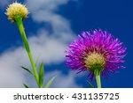 Basket Flower  Plectocephalus...