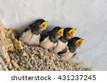 Swallows  Babies In The Nest