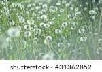 Beautiful White Dandelion On...