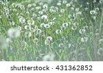 Beautiful White Dandelion On...