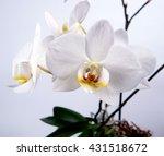 orchid flower   Shutterstock . vector #431518672