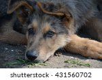 stray dog resting | Shutterstock . vector #431560702