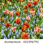 Tulips And Hyacinths Flowerbed...