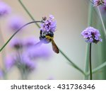 bumblebee collecting pollen... | Shutterstock . vector #431736346