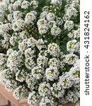 Small photo of White Spiraea