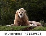 A Big Pure White Male Lion In...