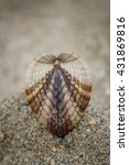 Small photo of Seashell on brown beach sand background - Rough cockle (Acanthocardia tuberculata)