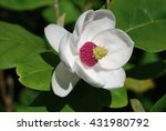 magnolia flower in close up view | Shutterstock . vector #431980792