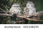 pair tawny frogmouth  podargus... | Shutterstock . vector #432148255