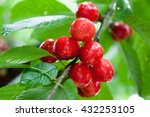red sweet cherries on a branch... | Shutterstock . vector #432253105