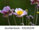 Japanese anemone - stock photo