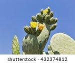 Blooming Cactus Coccinellifera...