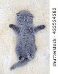 Stock photo close funny little gray kitten sleep on white blanket 432534382