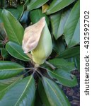 Magnolia bud in green leaves on the tree - stock photo