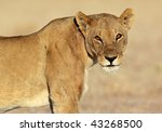Lion with sunrise glare in its eyes - stock photo