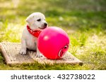 Stock photo labrador puppy with a ball beautiful dog puppy labrador retriever playing with rubber ball on grass 432738022