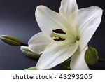 White Lily With Copy Space...