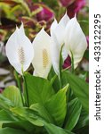 Close Up Of Peace Lily Flowers.